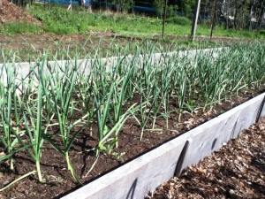 Garlic at Soluna Garden Farm